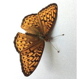 Nymphalidae Speyeria electa lais PAIR A1 Canada