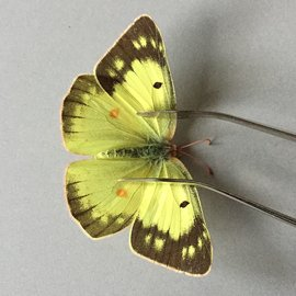 Pieridae Colias philodice eriphyle F A1 Canada
