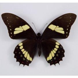 Papilionidae Papilio aristeus coelebs M A1 Peru