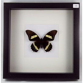 Papilio aristeus, Peru