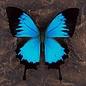 Blue Mountain Swallowtail, Indonesia