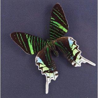 The green-banded Urania ♂, Peru