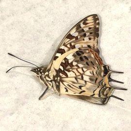 Nymphalidae Charaxes cacuthis M A1 Madagascar