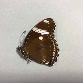 Nymphalidae Hypolimnas bolina bolina M A1 PNG