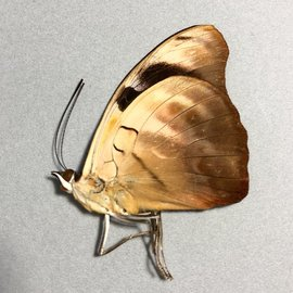 Nymphalidae Catonephele MIX M A1/A1- Bolivia
