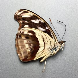 Nymphalidae Catonephele MIX F A1 Bolivia