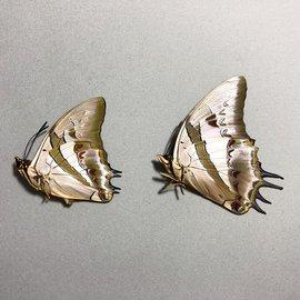 Nymphalidae Polyura schreiber schreiber PAIR A1 Indonesia