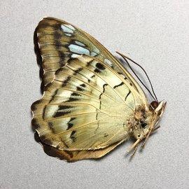 Nymphalidae Parthenos sylvia ellina M A1 Philippines