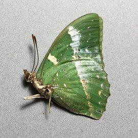 Butterflies Charaxes subornatus - 5M - A1 RCA