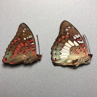 Nymphalidae Euthalia adonia adonia PAIR A1 Indonesia
