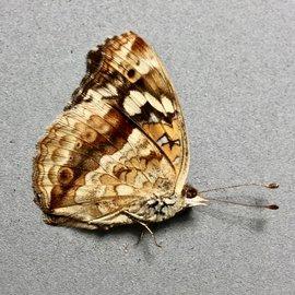 Nymphalidae Junonia oenone epiclelia M A1 Madagascar