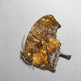 Nymphalidae Consul (Anaea) fabius cecrops M A1 Peru