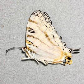 Nymphalidae Cyrestis elegans M A1 Madagascar