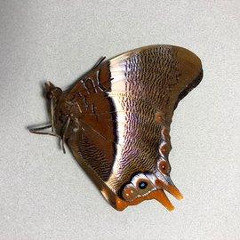 Nymphalidae Palla ussheri M A1- RCA