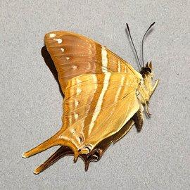 Nymphalidae Marpesia marcella M A1 Peru