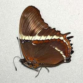 Nymphalidae Siproeta superba M A1 Bolivia