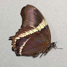 Nymphalidae Siproeta trayja M A1 Brazil