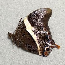Nymphalidae Palla publius M A1 RCA