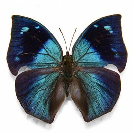 Nymphalidae Memphis MIX M A1 Peru