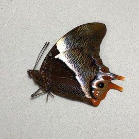 Nymphalidae Palla violinitens M A1 RCA