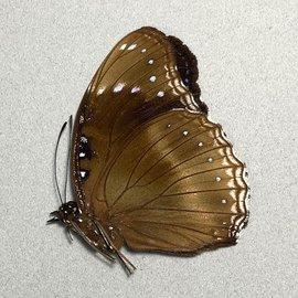 Nymphalidae Hypolimnas alimena M A1 PNG