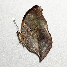Nymphalidae Salamis anteva M A1 Madagascar