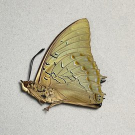 Nymphalidae Charaxes imperialis M A1/A1- RCA