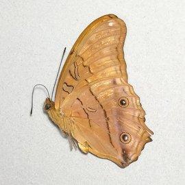 Nymphalidae Vindula arsinoe arsinoe M A1 Indonesia