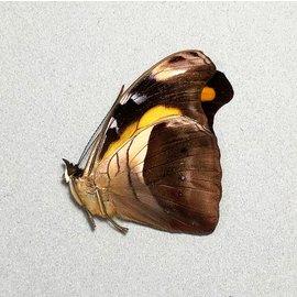 Nymphalidae Catonephele chromis godmani M A1 Bolivia