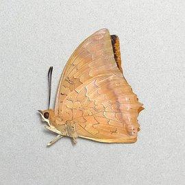 Nymphalidae Charaxes marmax M A1 Thailand