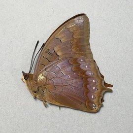 Nymphalidae Charaxes latona papuensis M A1 PNG