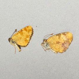 Nymphalidae Phyciodes pulchella PAIR A1 Canada