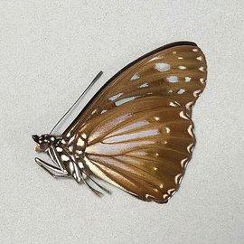 Nymphalidae Hestina dissimilis M A1 Phillipines
