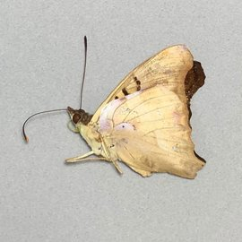 Nymphalidae Doxocopa seraphina M A1 Argentina