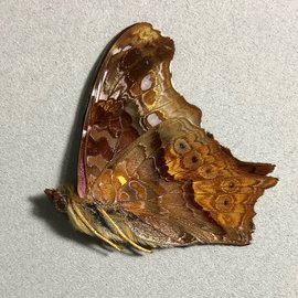Nymphalidae Hypanartia kiefersteinii M A1 Bolivia