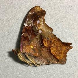 Nymphalidae Hypanartia kiefersteinii M A1/A1- Bolivia