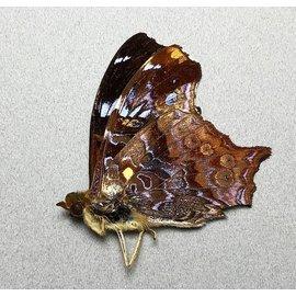 Nymphalidae Hypanartia kiefersteinii M A1 Peru