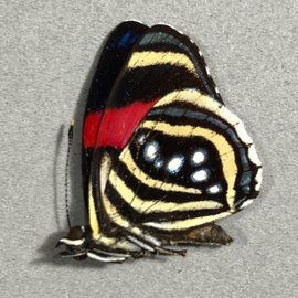 Nymphalidae Callicore hesperis M A1/A1- Bolivia