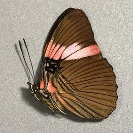 Nymphalidae Adelpha lara lara M A1/A1- Peru