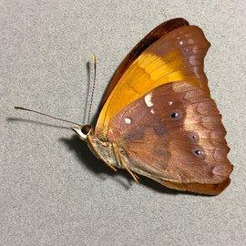 Nymphalidae Temenis lathoe meridionalis M A1 Peru