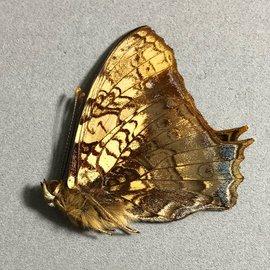 Nymphalidae Hypanartia lethe ssp M A1 Bolivia