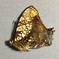Nymphalidae Hypanartia lethe lethe M A1 Peru
