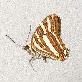 Nymphalidae Adelpha mythra M A1 Peru