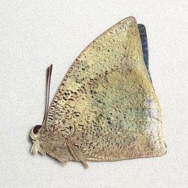 Nymphalidae Anaea (Polygrapha) xenocrates xenocrates M A1 Peru