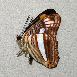 Nymphalidae Adelpha thessalia M A1 Peru