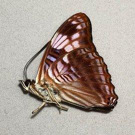 Nymphalidae Adelpha ximena M A1 Peru