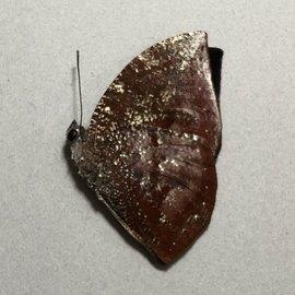 Nymphalidae Memphis (=Anaea) offa M A1A1- Peru