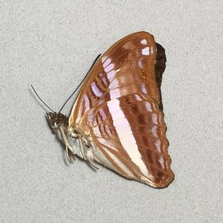 Nymphalidae Adelpha cocala cocala M A1 Peru
