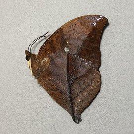 Nymphalidae Anaea (Zaretis) itys itys M A1 Peru