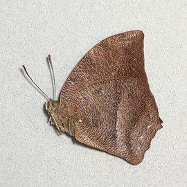 Nymphalidae Fountainea sosippus M A1- Peru